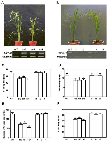 Phenotype of FTL10 overexpression and RNAi transgenic plants.