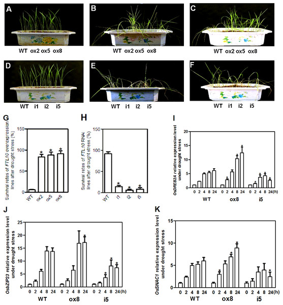 Representative picture of drought tolerance test of transgenic plants and expression of drought stress related genes in transgenic plants.