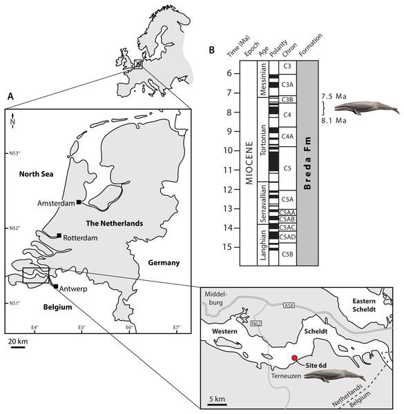 Type locality (A) and horizon (B) of Tranatocetus maregermanicum.