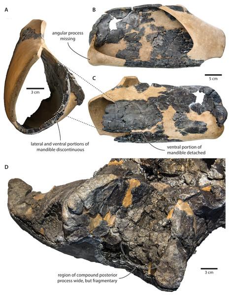 Damage to the mandible and auditory region of Tranatocetus argillarius (GMUC VP2319, holotype).