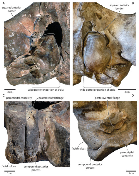 Comparison of the auditory regions of (A, C) the presumed tranatocetid 'Cetotherium' megalophysum (USNM 10593, holotype) and (B, D) the cetotheriid Piscobalaena nana (MNHN SAS 1616).