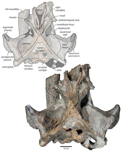 Holotype cranium of Tranatocetus maregermanicum (NMR9991-16680) in dorsal view.
