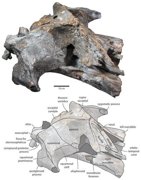 Holotype cranium of Tranatocetus maregermanicum (NMR9991-16680) in oblique right anterolateral view.
