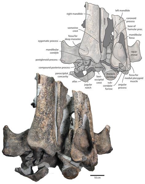 Holotype cranium of Tranatocetus maregermanicum (NMR9991-16680) in ventral view.