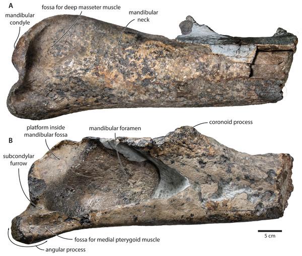 Holotype mandible of Tranatocetus maregermanicum (NMR9991-16680).