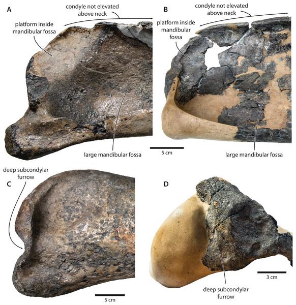 Comparison of the mandibular ramus of (A, C) Tranatocetus maregermanicum (NMR9991-16680, holotype) and (B, D) Tranatocetus argillarius (GMUC VP2319, holotype).