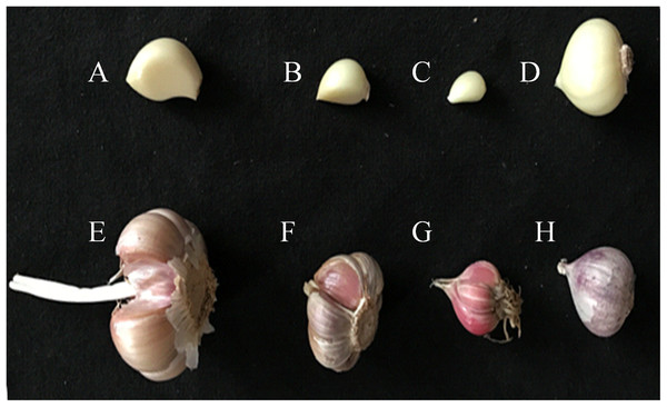 Four different varieties of garlic.