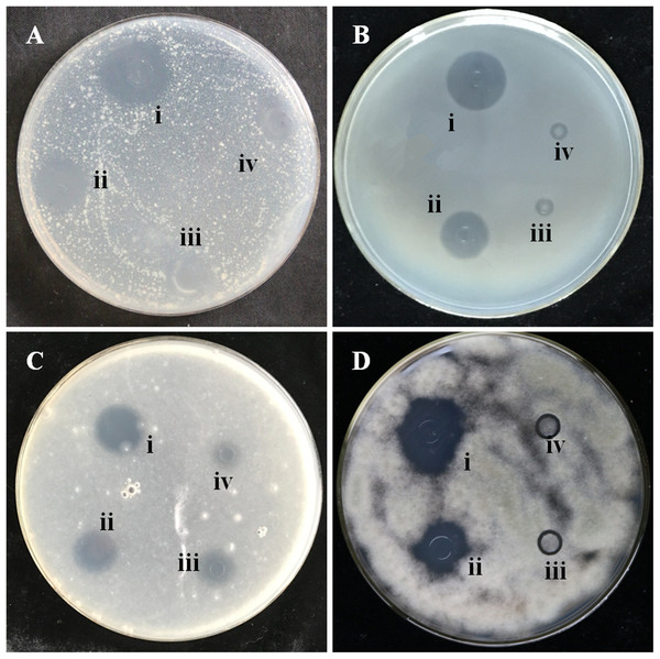 Zones of inhibition caused by the extracts of four varieties of garlic on seeded agar plates.