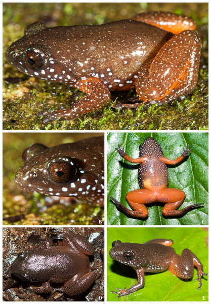 Live images of Astrobatrachus kurichiyana.