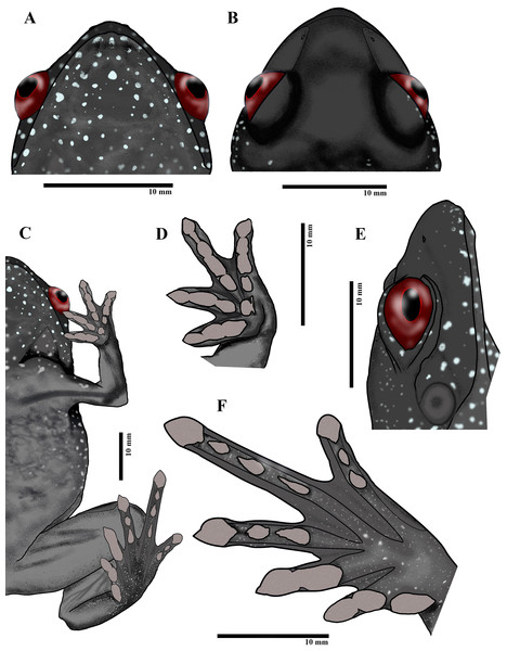Paratype of Astrobatrachus kurichiyana- ZSI/WRC/A/2133 (female): Ventral head (A), dorsal head (B), ventral (C), ventral fingers (D), lateral head (E), ventral toes (F).