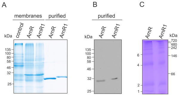 Purification of codon optimized ArnR and ArnR1 and formation of diverse multimeric species.