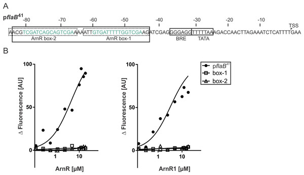 Both ArnR boxes are required to facilitate ArnR and ArnR1 binding to pflaB.