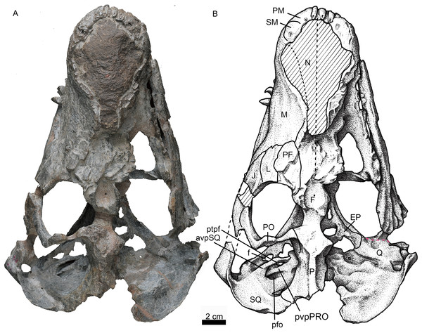 Holotype of Jiufengia jiai (IVPP V 23877) from the Naobaogou Formation of China.