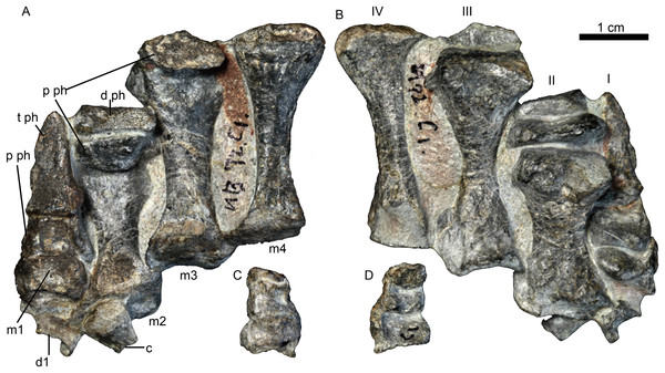 Holotype of Jiufengnathus jiai (IVPP V 23877) from the Naobaogou Formation of China.