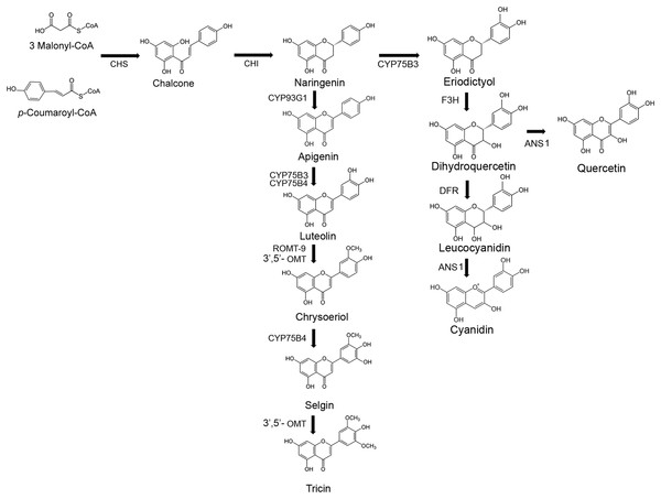 Flavone and anthocyanin biosynthetic pathways.