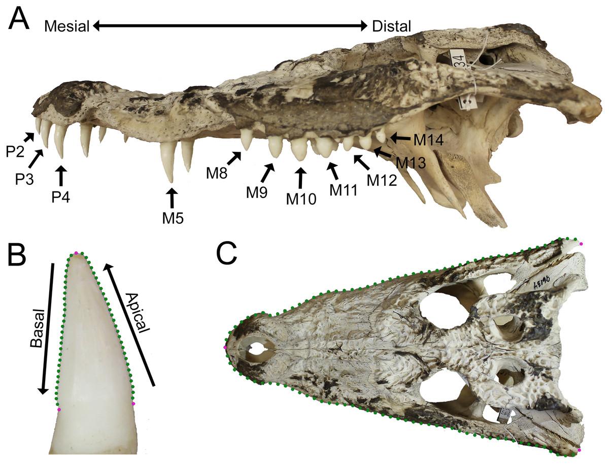 quantitative heterodonty in crocodylia assessing size and shape