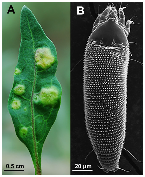 (A) Galls induced by A. pallida on leaf; and (B) adult A. pallida observed using a scanning electron microscope.