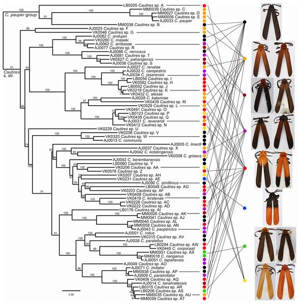 Phylogeny of Cautires.