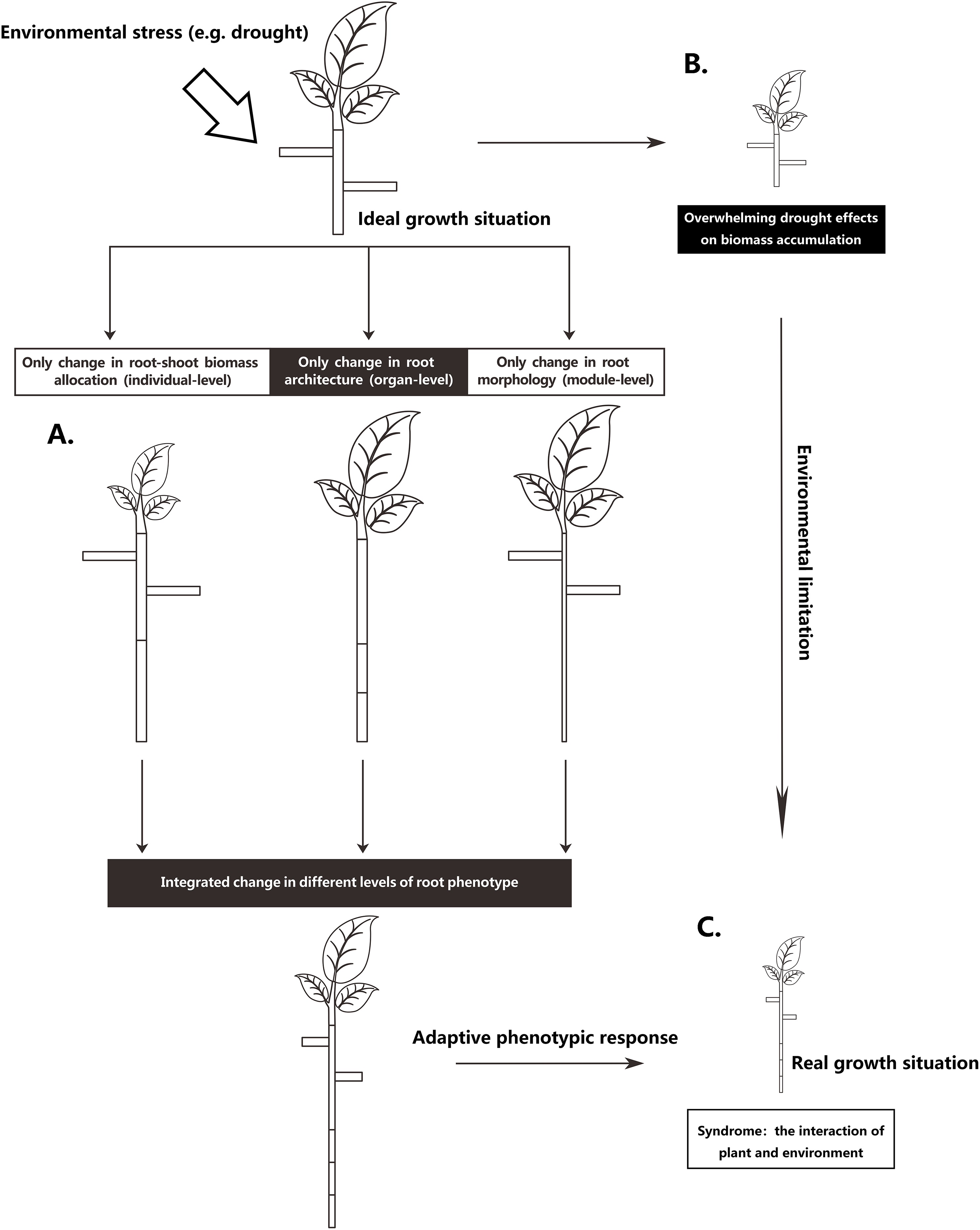 Due Due Cortina Srl.Effects Of Root Phenotypic Changes On The Deep Rooting Of Populus
