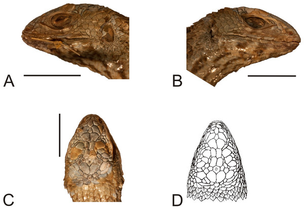 Head of the paralectotype of Liolaemus lineatus Gravenhorst, 1838 (MNHUW 1323b).