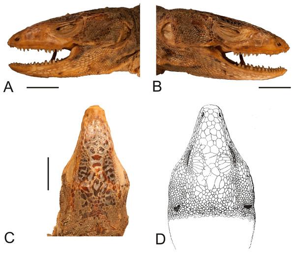 Head of the lectotype of Callopistes maculatus Gravenhorst, 1838 (MNHUW 1320).