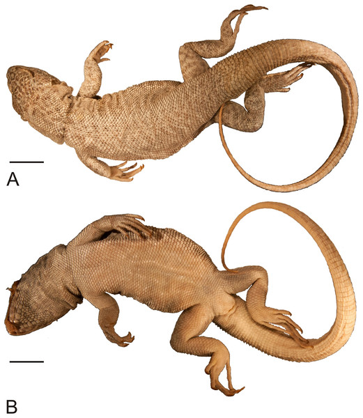 Holotype of Liolaemus conspersus Gravenhorst, 1838 (MNHUW 1321).