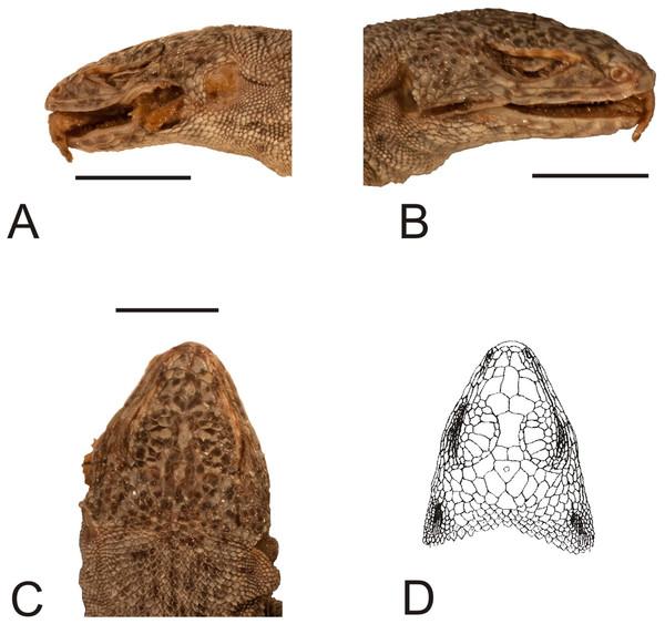 Head of the holotype of Liolaemus conspersus Gravenhorst, 1838 (MNHUW 1321).