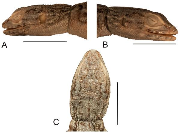 Head of the holotype of Liolaemus hieroglyphicus Gravenhorst, 1838 (MNHUW 1322).