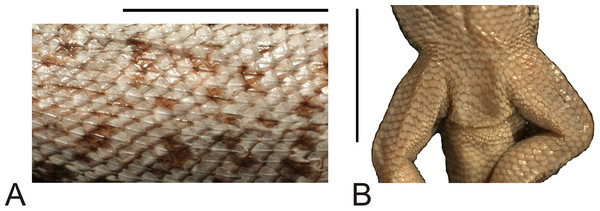 Morphological details of the Liolaemus hieroglyphicus holotype (MNHUW 1322).