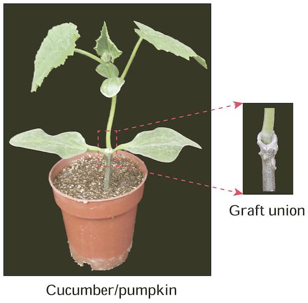 Graft union of cucumber-pumpkin grafted plants.