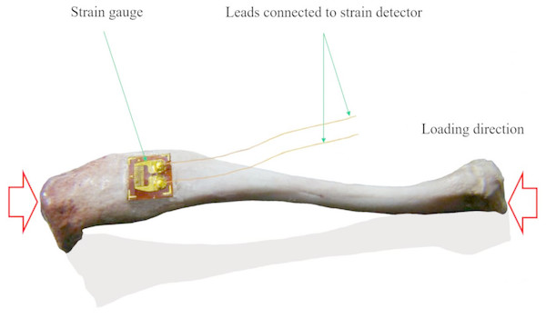 Schematic view of the axial strain measurement of tibia with single strain gauge.