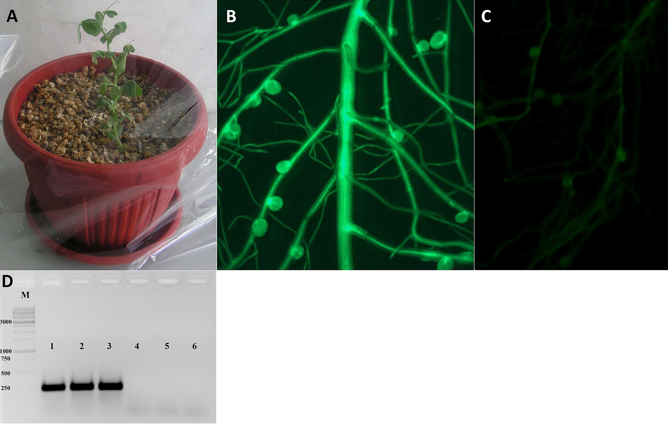 Une Glycine En Pot agrobacterium rhizogenes—mediated transformation of pisum