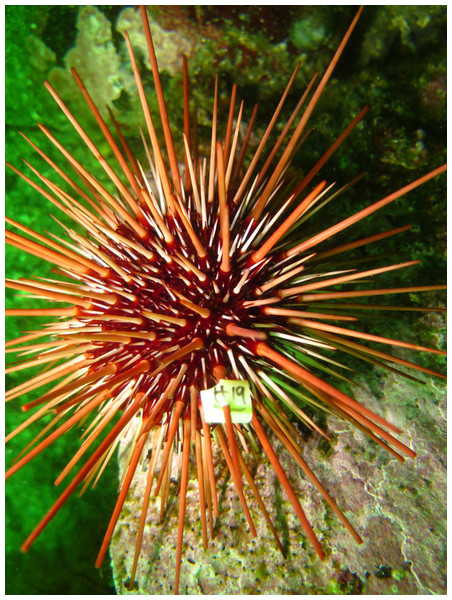 Tagged red sea urchin released in the wild.