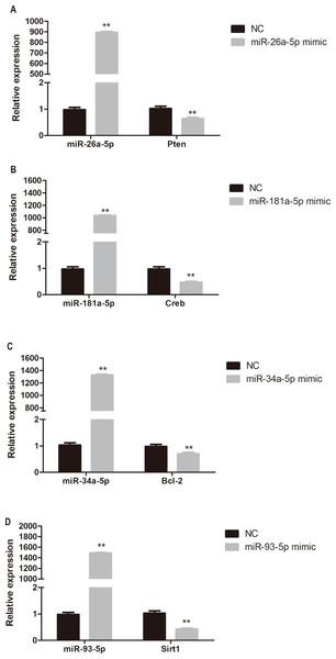 Quantitative PCR analysis of miR-26a-5p, miR-181a-5p, miR-34a-5p, miR-93-5p, Pten, Creb, Bcl-2, and Sirt1 expression in miR-26a-5p (A), miR-181a-5p (B), miR-34a-5p (C), miR-93-5p (D) mimic transfected HUVECs.