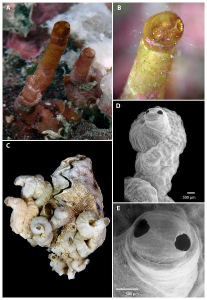 Morphology of Vermetus biperforatus (teleoconch shell).