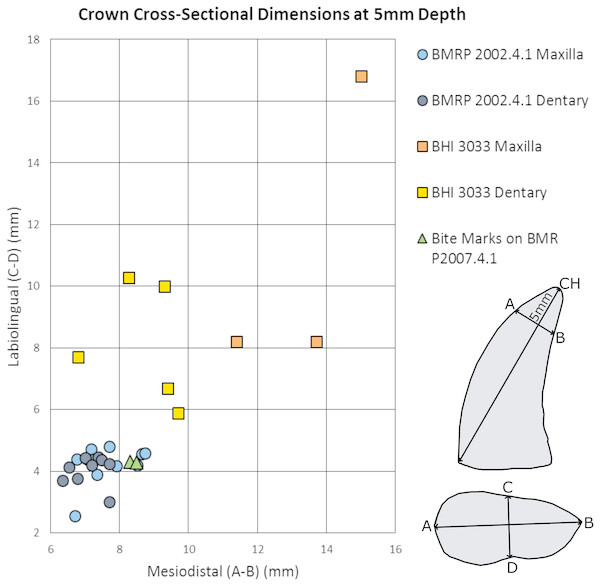 Maxillary and dentary measurements for BMRP 2002.4.1 and BHI 3033 mesiodistal and labiolingual dimensions at 5 mm depth compared to the bite marks on BMR P2007.4.1.