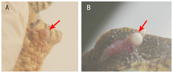 Nodules in the lesions of crocodile lizards.