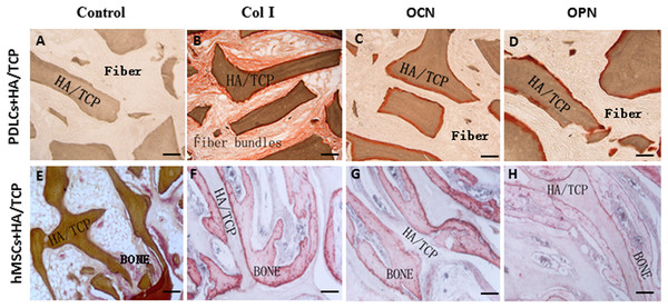 Osteogenic differentiation of PDLCs and hMSCs in vivo.