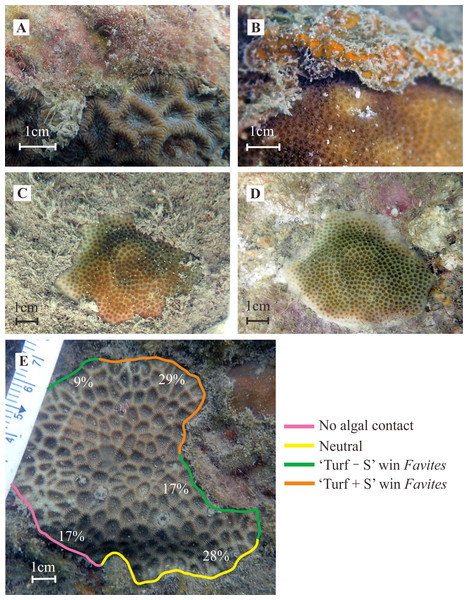 Examples of coral-algal interactions and the effects of sediments bound within turf algae.