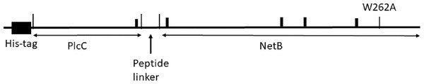 Diagram of the 6His-plcC-netB fusion protein.