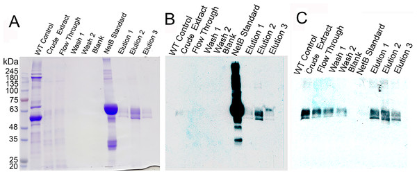 Purification of glycosylated PlcC-NetB fusion.