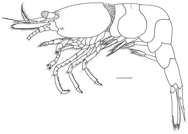 Hippolyte chacei sp. nov. female, holotype.