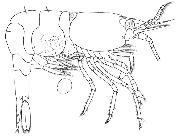 Hippolyte nanhaiensis sp. nov. ovigerous female, holotype.