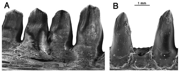 Comparison of dentary teeth of Oromycter and Arisierpeton.