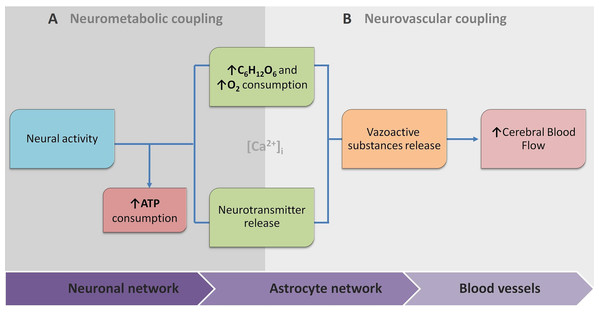 The conceptual biophysical scheme of biological signal transduction path in the Neurovascular Unit (NVU).