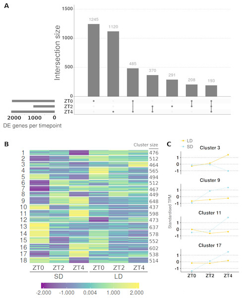Contrasting timepoint specific expression profiles of the genes which alter their pattern of gene expression in response to the change of photoperiod conditions and clustering the relative changes in expression over time.