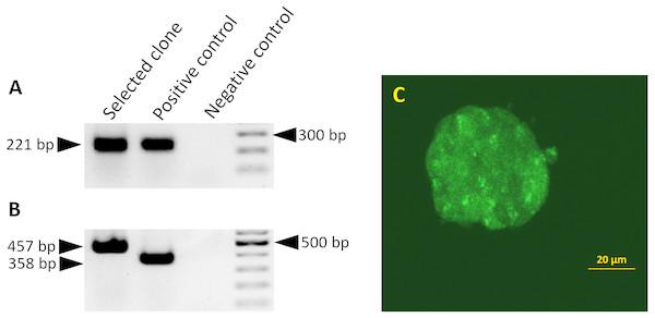 Splicing of the miR-302 host transgene.