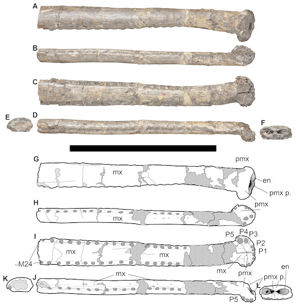 NHMUK PV OR 43086, holotype of Bathysuchus megarhinus gen. et. sp. nov. from the Kimmeridgian of Kimmeridge Bay, Dorset, UK, and interpretative drawings.