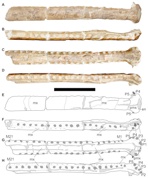 LPP specimen, anterior rostrum of referred specimen of Bathysuchus megarhinus gen. et. sp. nov. from the Upper Kimmeridgian of Franculés, Quercy, France, and interpretative drawings.