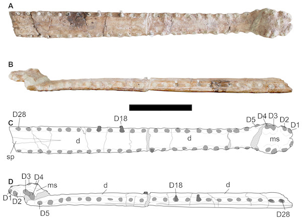 LPP specimen, mandibular symphysis of referred specimen of Bathysuchus megarhinus gen. et. sp. nov. from the Upper Kimmeridgian of Franculés, Quercy, France, and interpretative drawings.